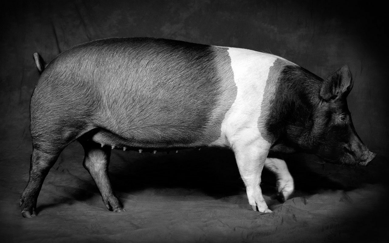 Pig-Creative-Photography-CR.jpg
